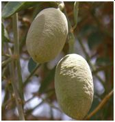 Hingot Fruit