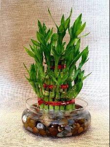 Lucky Bamboo Glass Planter