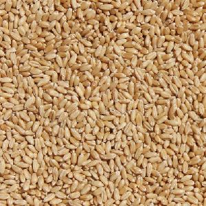 Tejas Wheat Seed