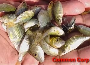 Common Carp Fish Seeds