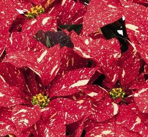Poinsettia Red Glitter Plant