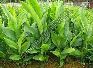 Turmeric Leaf Oil