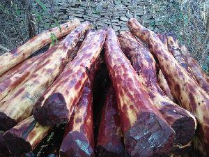Red Sandal Wood Plant
