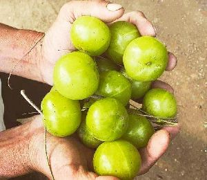 Amla fruit exporter