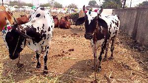 Deoni Cow