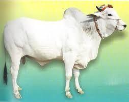 Ongole Bull Semen