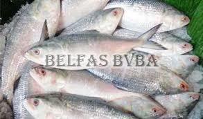 Frozen Hilsa Fish