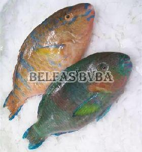 Frozen Parrot Fish