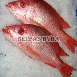 Frozen Red Sea Bream