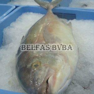 Frozen Trevally Fish