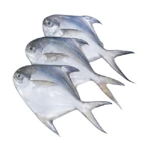 Fresh Pomfret Fish