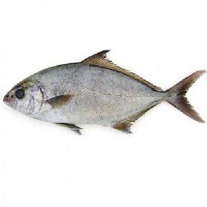 Fresh Seer Fish