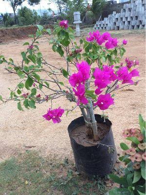 Bhaganvalia Plant