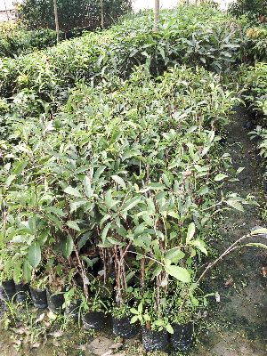 Chikku Grafted Plant