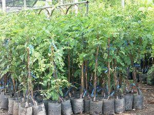 Emblica plant