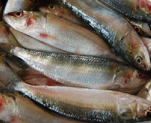 Fresh Mathi Fish