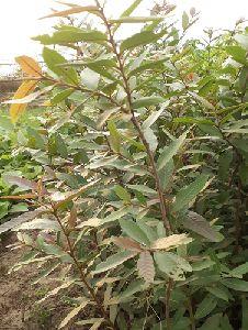 Arjun Plant