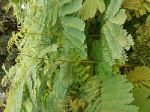 Gulmohar Plant