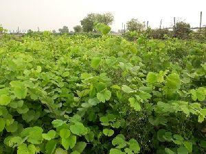 Kachnar Plant