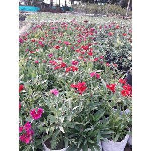 Sapling Plant