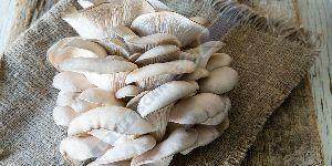 Oyster Mushroom Extract