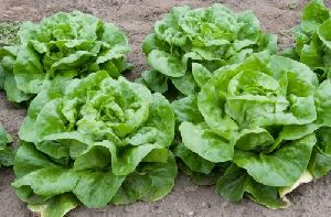 Fresh Butterhead Lettuce