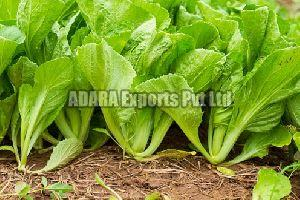 Fresh Collard Leaves