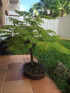 Gulmohar Bonsai Plant