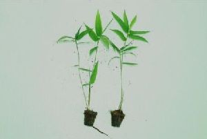 Tissue Culture Bamboo Plant