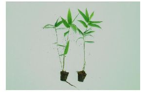 Bambu plants tissue Culture