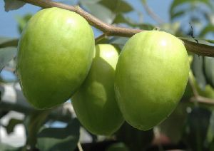 Green Apple Ber Plant