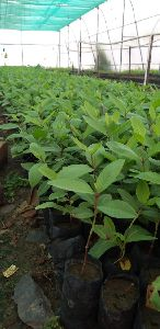 Tissue Culture Allahabad Safeda Guava Plant