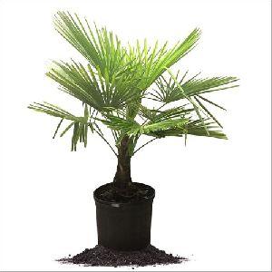 Palm Garden Plant