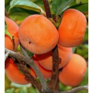 Persimmon Plant