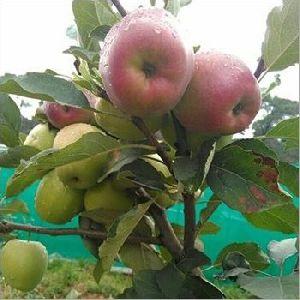 HRMN 99 Apple Plant