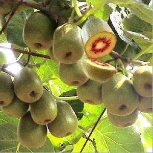 Red Kiwi Plant