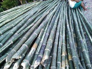 Bhaluka Bamboo