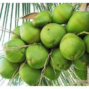 Natural Green Coconut