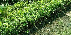 Assam Lemon Cutting Plant's