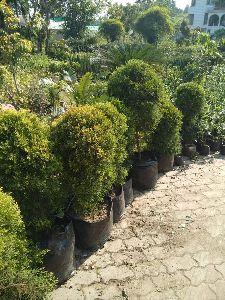 Golden Pine Plant