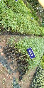 Moha Neem Plants