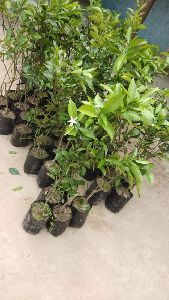 Mosambi Grafted Plant's