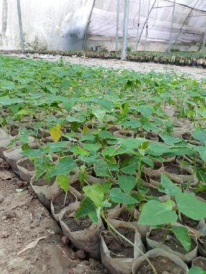 Red Leady Papaya Plant