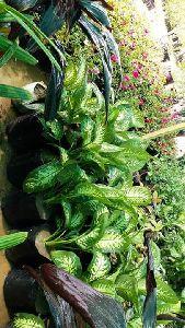 Stromanthea Plant
