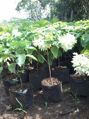 Mussaenda Plant's