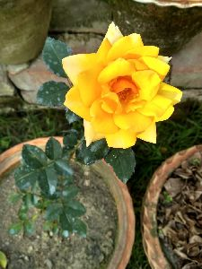 Yellow Rose Plant\'s