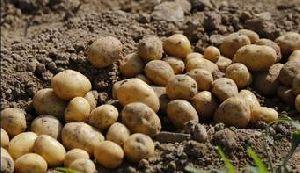 Master Potato