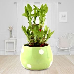 3 Layer Good Luck Bamboo Plant in Ceramic Pot