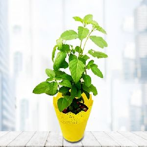 Blossom-Filled Indoor Tulsi Plant in Beautiful Plastic Pot
