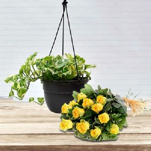 Decorative Indoor Gift of Hanging Money Plant with Yellow Roses Bunch